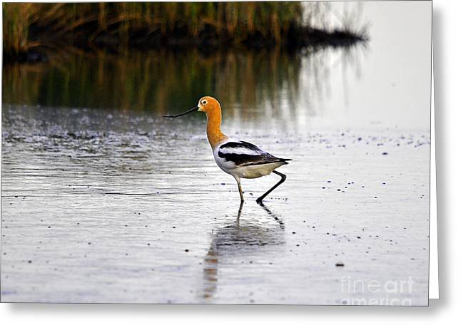 Aquatic Bird Greeting Cards - American Avocet Greeting Card by Al Powell Photography USA