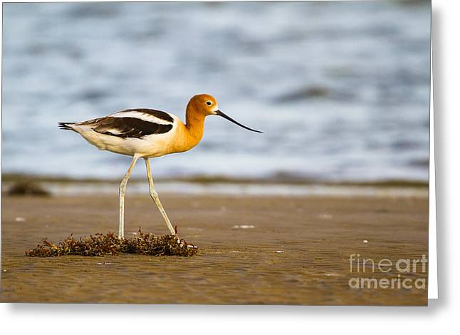 White Bird Greeting Cards - American Avocet before the dusk Greeting Card by Ellie Teramoto