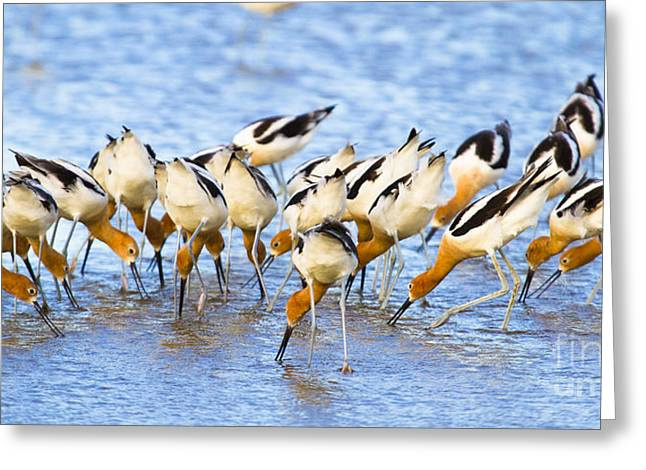 White Bird Greeting Cards - American Avocet Eating Greeting Card by Ellie Teramoto