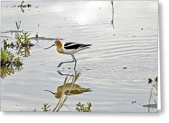 Water Fowl Photographs Greeting Cards - American Avocet feeding Greeting Card by James Steele