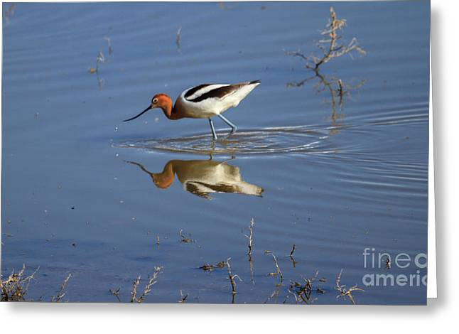 Lovely Pond Greeting Cards - American Avocet Greeting Card by Robert Bales
