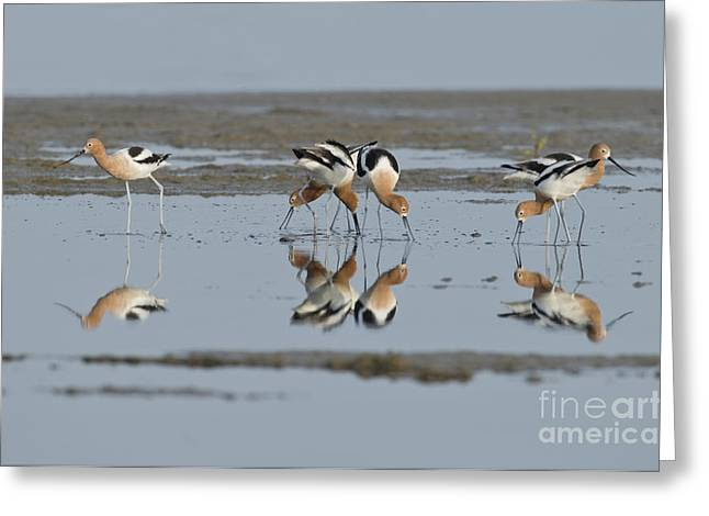 Reflection In Water Greeting Cards - American Avocets Greeting Card by Anthony Mercieca