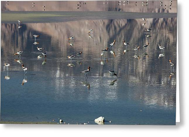American Avocets On Owens Lake Greeting Card by Jim West