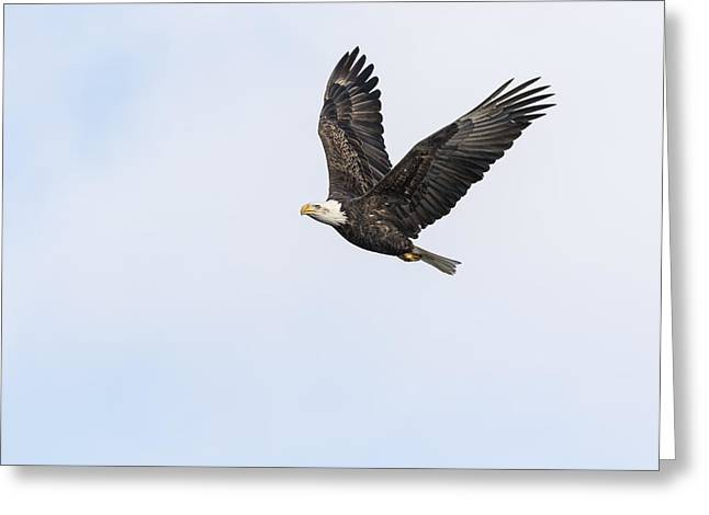 American Icons Photographs Greeting Cards - American Bald Eagle 2015-12 Greeting Card by Thomas Young