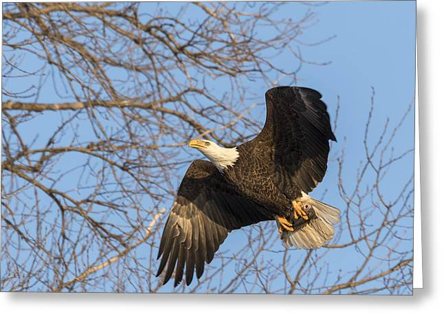 American Food Greeting Cards - American Bald Eagle 2015-2 Greeting Card by Thomas Young