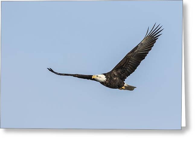 American Food Greeting Cards - American Bald Eagle 2015-3 Greeting Card by Thomas Young