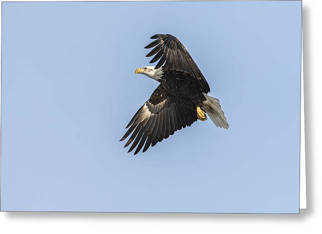 American Food Greeting Cards - American Bald Eagle 2015-4 Greeting Card by Thomas Young