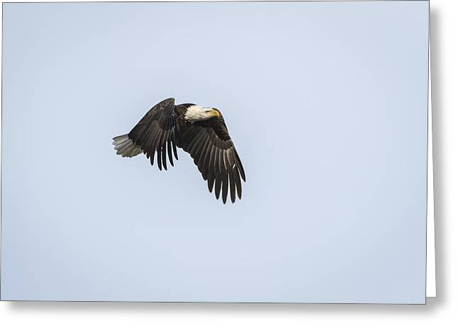 American Food Greeting Cards - American Bald Eagle 2015-5 Greeting Card by Thomas Young