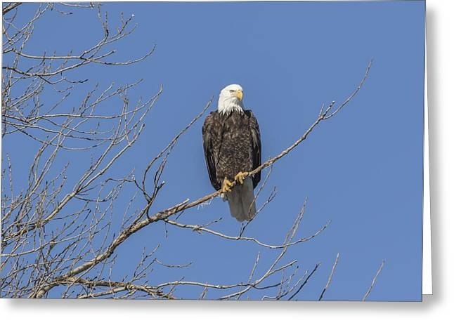 American Food Greeting Cards - American Bald Eagle 2015-8 Greeting Card by Thomas Young