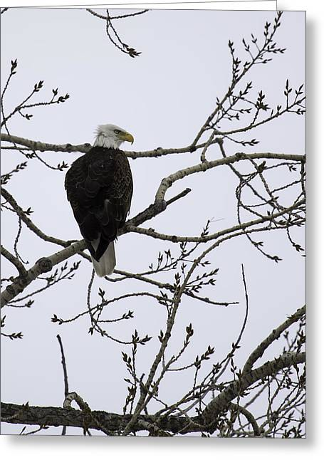 Because Greeting Cards - American Bald Eagle 4 Greeting Card by Thomas Young