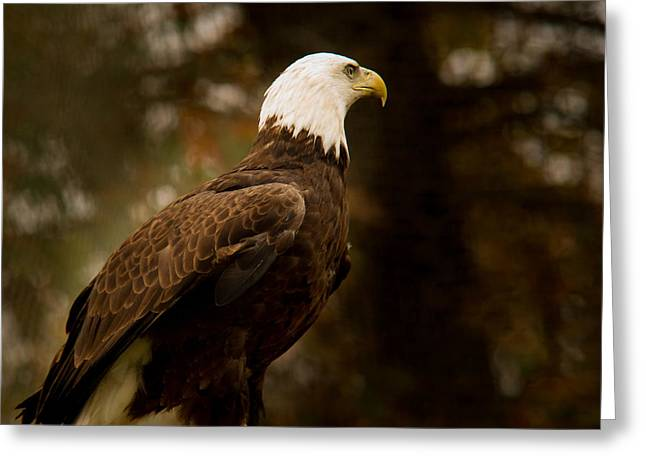 Preditor Photographs Greeting Cards - American Bald Eagle Awaiting Prey Greeting Card by Douglas Barnett