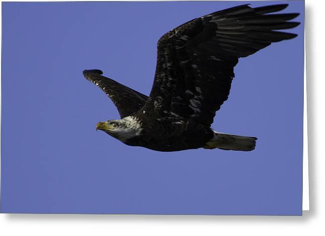 Eagle Greeting Cards - American Bald Eagle In Flight Greeting Card by Thomas Young