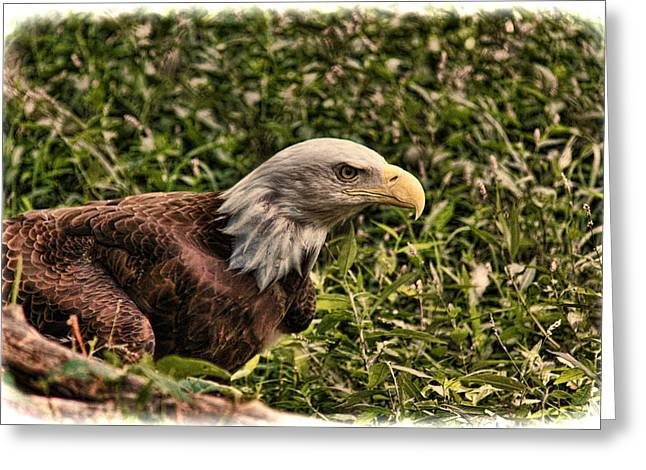 Gift For You Greeting Cards - American Bald Eagle Greeting Card by Lee Dos Santos