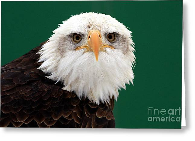 American Bald Eagle On The Look Out Greeting Card by Inspired Nature Photography Fine Art Photography
