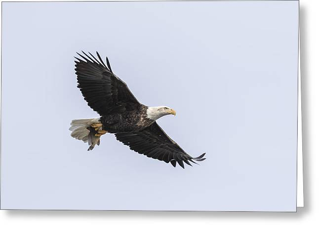 American Food Greeting Cards - American Bald Eagle With A Fish 2 Greeting Card by Thomas Young