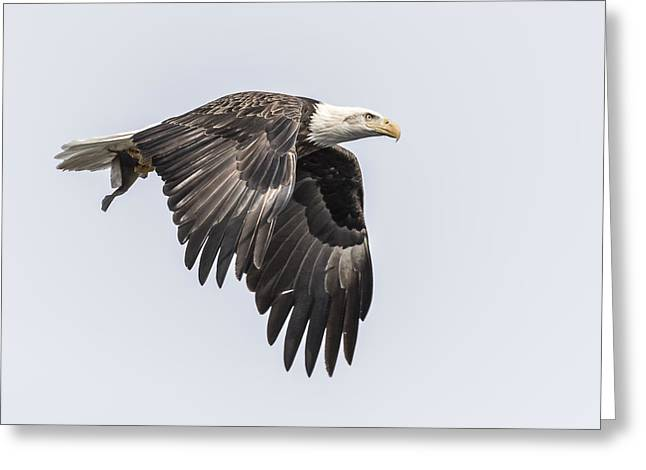 American Food Greeting Cards - American Bald Eagle With A Fish 3 Greeting Card by Thomas Young