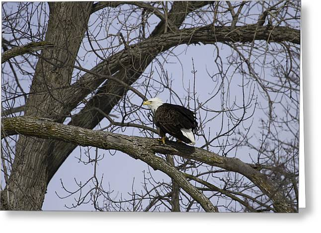 Menasha Greeting Cards - American Bald Eagle With Food 1 Greeting Card by Thomas Young