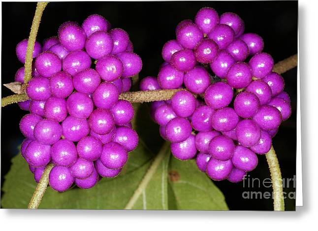 American Food Greeting Cards - American Beautyberry Greeting Card by Scott Camazine
