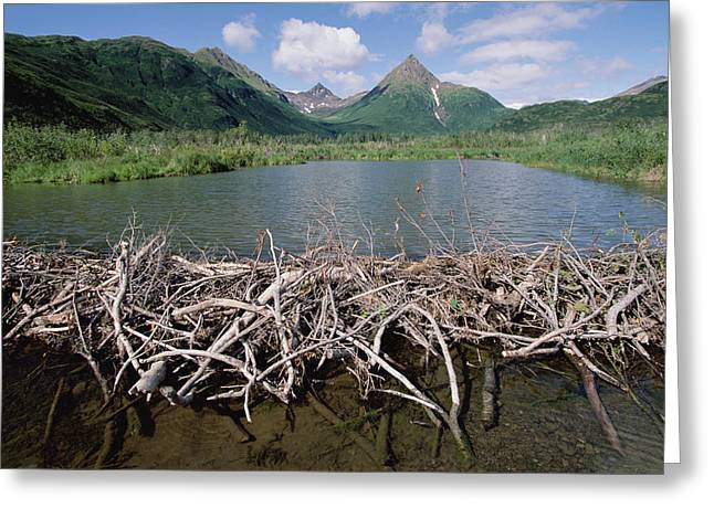 Beaver Lake Photographs Greeting Cards - American Beaver Dam Silver Horn Creek Greeting Card by Gerry Ellis