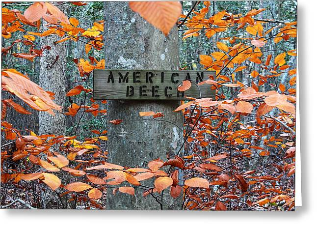 Tree Huggers Greeting Cards - American Beech Greeting Card by Andrew Pacheco