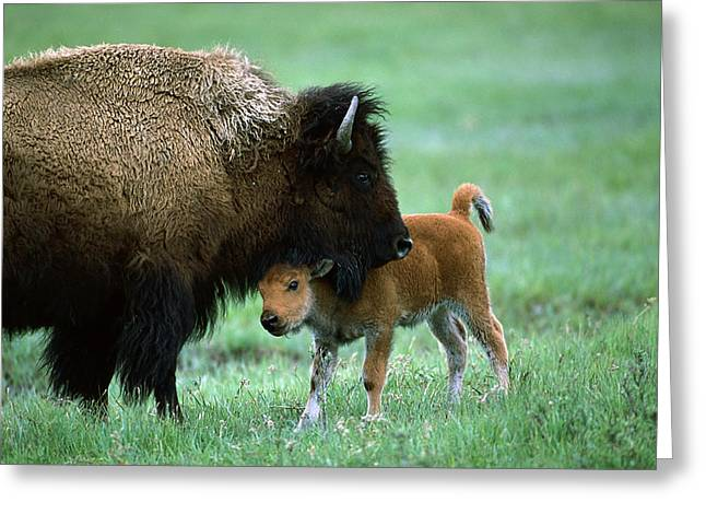 Bison Photos Greeting Cards - American Bison and Calf Yellowstone NP Greeting Card by Suzi Eszterhas