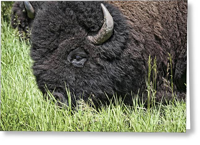 Little Big Horn Photographs Greeting Cards - American Bison Greeting Card by Brenda Kean
