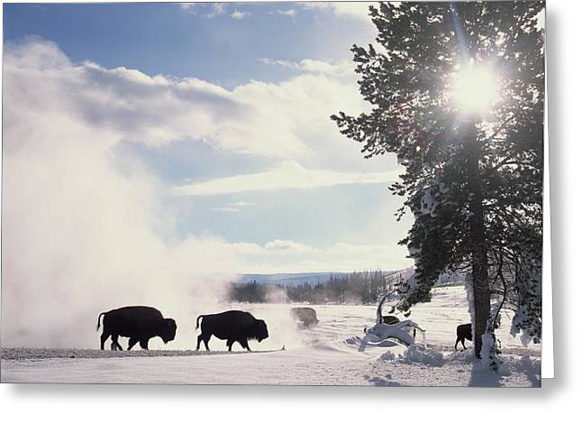 American Bison In Winter Greeting Card by Tim Fitzharris