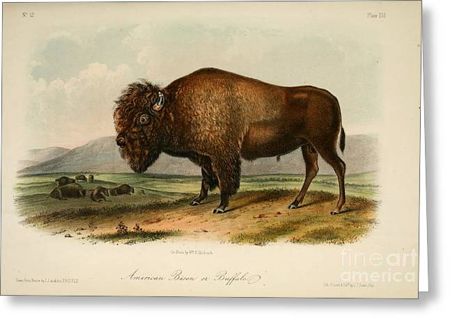 Pecking Drawings Greeting Cards - American Bison  Greeting Card by John Woodhouse Audubon