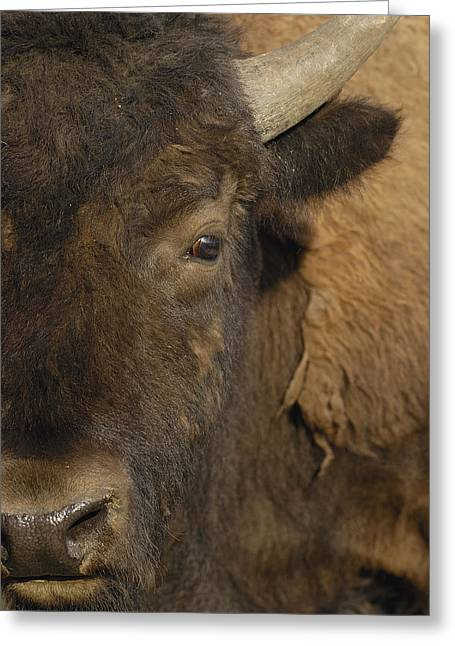 Close Up Buffalo Greeting Cards - American Bison  Male Wyoming Greeting Card by Pete Oxford