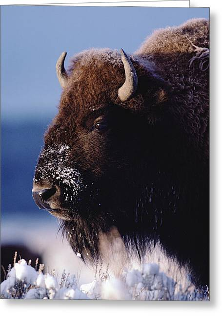 Close Up Buffalo Greeting Cards - American Bison Portrait In Snow Greeting Card by Tim Fitzharris