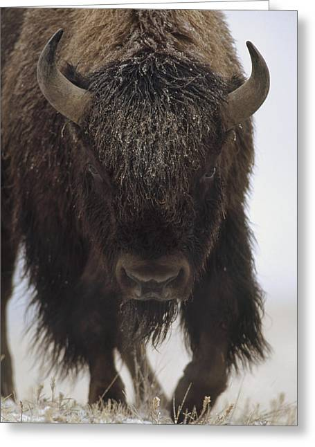 American Bison Greeting Cards - American Bison Portrait Greeting Card by Tim Fitzharris