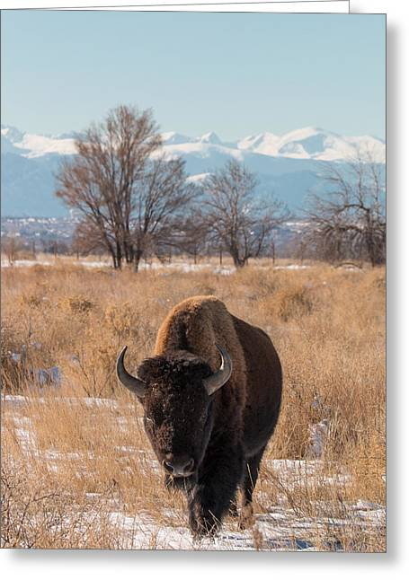 Tatanka Greeting Cards - American Bison Walks in the Shadow of Mountains Greeting Card by Tony Hake