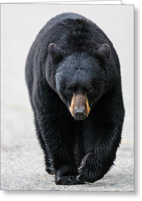 Recently Sold -  - Roadway Greeting Cards - American Black Bear Greeting Card by Brandon Smith