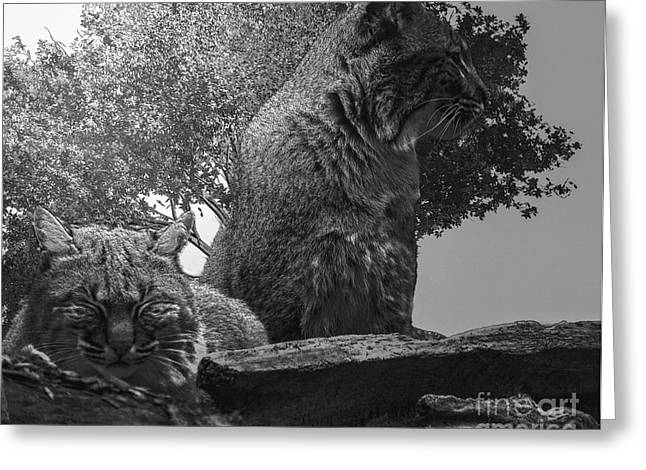 Lynx Rufus Greeting Cards - American Bobcat Greeting Card by Mim White