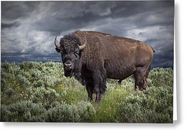 Cattle Photographs Greeting Cards - American Buffalo or Bison in Yellowstone Greeting Card by Randall Nyhof