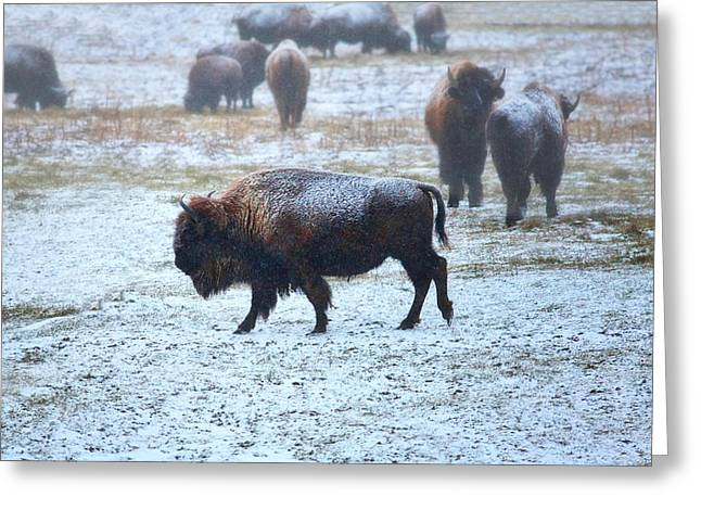 Tatanka Greeting Cards - American buffalo Greeting Card by Pat Cook