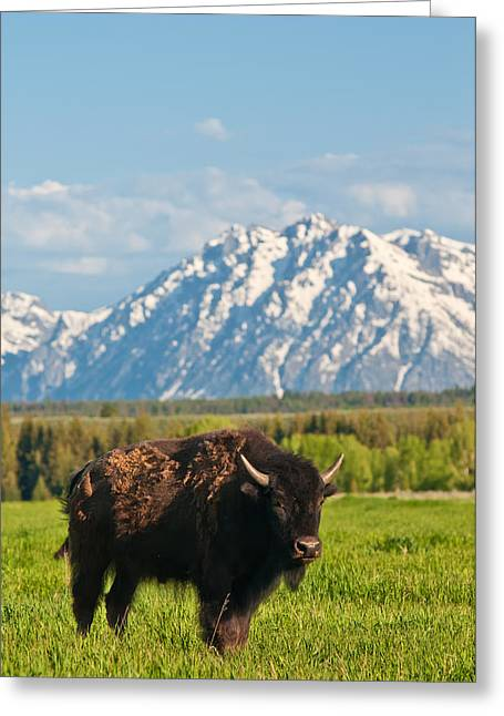 Eutheria Greeting Cards - American Buffalo Greeting Card by Rich Leighton