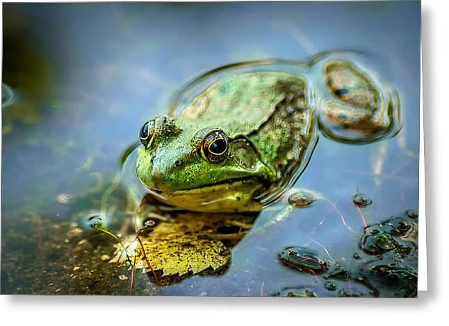 Matting Greeting Cards - American Bull Frog Greeting Card by Optical Playground By MP Ray