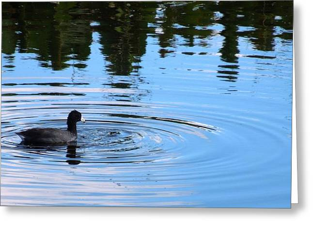 On Line Art Galleries Pyrography Greeting Cards - American Coot Greeting Card by Ron Davidson