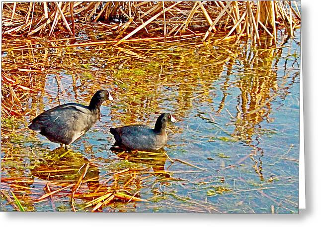 Pond In Park Greeting Cards - American Coots in Eco Pond in Everglades National Park-Florida Greeting Card by Ruth Hager
