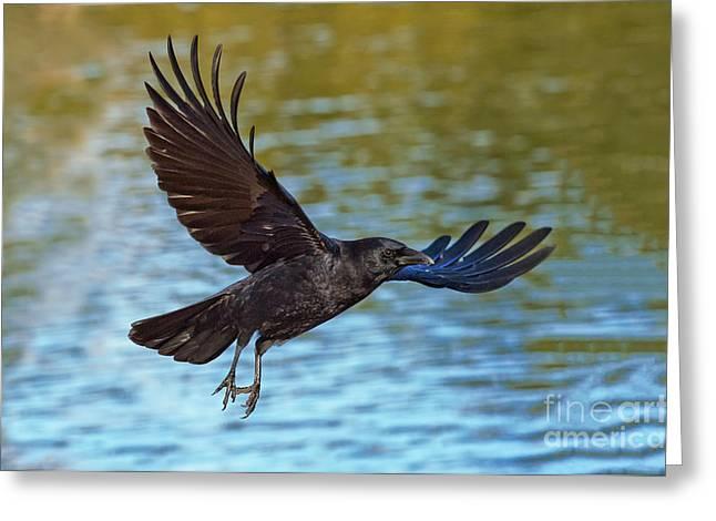 Corvus Brachyrhynchos Greeting Cards - American Crow Flying Over Water Greeting Card by Anthony Mercieca