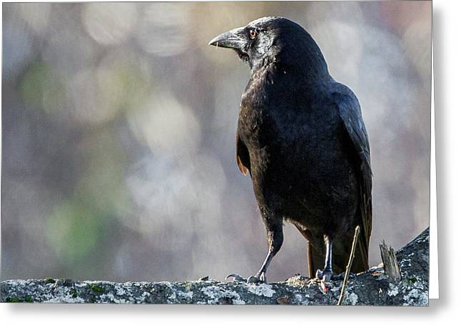 American Crow Greeting Cards - American Crow Square Greeting Card by Bill  Wakeley