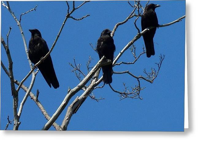 Crows In Trees Greeting Cards - American Crows Greeting Card by Gothicolors Donna Snyder