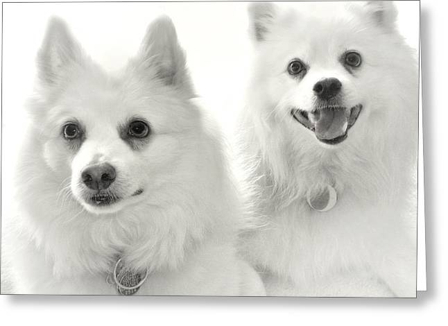Family Pet Greeting Cards - American Eskies Greeting Card by Julie Palencia
