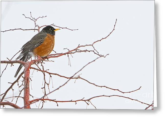 American Robin Greeting Cards - American Female Robin Greeting Card by James BO  Insogna