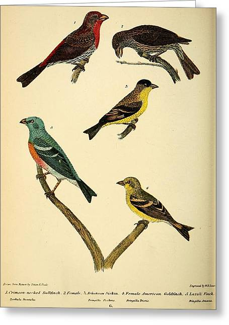 Peale Greeting Cards - American Finches Greeting Card by Philip Ralley