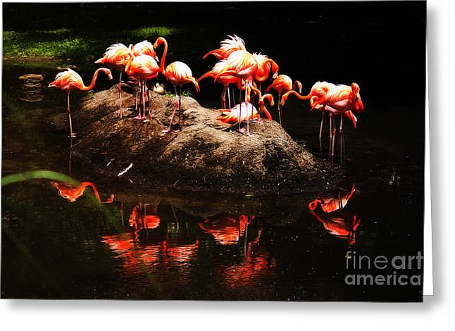 Photos Of Coral Greeting Cards - American Flamingo Greeting Card by Nishanth Gopinathan