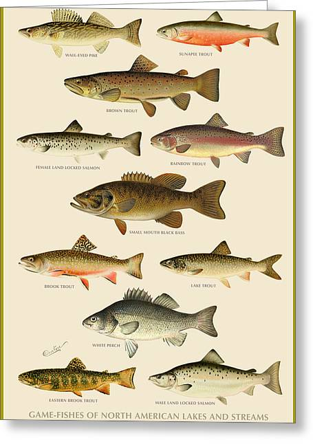 Animal Art Greeting Cards - American Game Fish Greeting Card by Gary Grayson