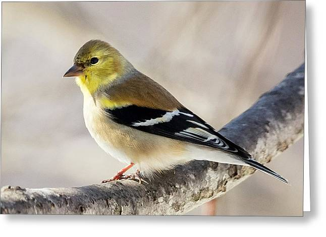 Finch Greeting Cards - American Goldfinch Square Greeting Card by Bill  Wakeley