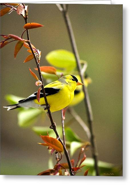 American Goldfinch Greeting Cards - American Goldfinch-2 Greeting Card by Christina Rollo